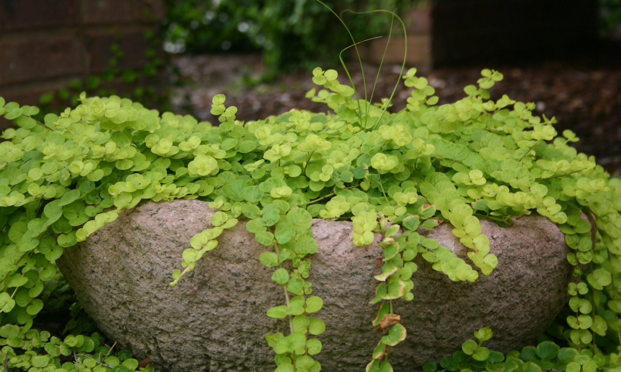 Creeping Jenny finding the sweet spot!